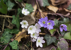 Fiori del sottobosco (vale2174) Tags: primavera ngc sottobosco