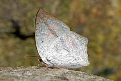 Curetis dentata - the Toothed Sunbeam (dry season form) (BugsAlive) Tags: macro nature animal butterfly insect thailand outdoor wildlife butterflies insects lepidoptera chiangmai lycaenidae curetisacuta curetinae angledsunbeam liveinsects