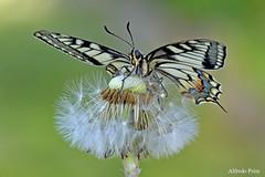 Papilio machaon (alfvet) Tags: macro primavera nature butterflies natura insetti farfalle sigma150 parcodelticino
