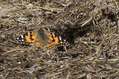 Painted Lady (Vanessa cardui) 1 040316 (evimeyer) Tags: paintedlady easternsierra vanessacardui wildlifephotography