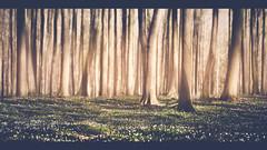 Trees - Ruegen (SaRo Photography) Tags: trees forest ruegen sonya7ii