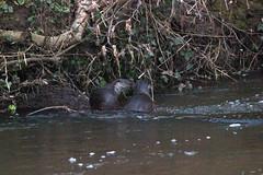 European otter (Lutra lutra) (2) (Geckoo76) Tags: otter lutralutra europeanotter