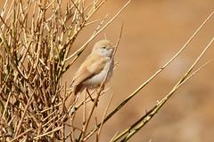 African Desert Warbler - Sylvia deserti (Roger Wasley) Tags: bird sahara desert explore morocco rare merzouga africandesertwarbler sylviadeserti sylvianana desertwarbler wisebirding christownend