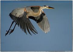GBH in fight (RKop) Tags: a77mk2 minolta600mmf4apog greatblueheron sanibel florida jndaringwildliferefuge raphaelkopanphotography sony wildlife