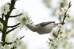 Krperspannung - body tension (ralfkai41) Tags: trees birds tiere outdoor blossoms vgel bume plumtree blten spottedflycatcher grauschnpper pflaumenbaum pfanzennatur