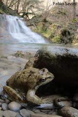 Rana italica (Fabio Savini) Tags: park nature water photo waterfall italian fabio frog national rana endemic italica apennine savini naturalistic foreste casentinesi endemica appenninica