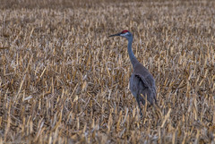 160316-Spring Migration-4 (Lynnette_) Tags: birds animals march spring nebraska seasons events places cranes rivers month sandhillcranes 2016 springmigration platterivervalley naturesubjects cranemigration cranescootsandrails