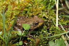 Little Frog (Tyrannodactyl) Tags: wet grass animal moss pond amphibian frog slimy