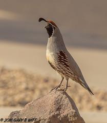 Gambel's Quail (orencobirder) Tags: birds quail flickrexport facebook bestofyear largebirds