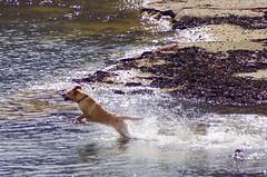 Splashing around (myersj96) Tags: uk sea england dog playing beach dogs water animal animals jumping plymouth splashing dogsplaying