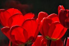 rot (nirak68) Tags: flower rot deutschland spring blossom pflanze tulip blume lbeck blte tulipa frhling tulpe straus fensterbank liliaceae liliengewchs 117366 schleswigholsteinkreisfreiehansestadtlbeck c2016karinslinsede