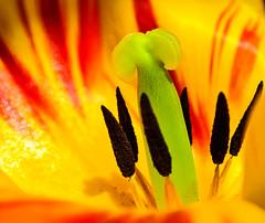 Colorful heart of a tulip (Kat-i) Tags: red plant macro green rot yellow spring pflanze gelb tulip grn kati tulipa frhling katharina tulpe 2016 narbe nikon1v1