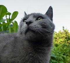 Larissa (*Nils aus Kiel*) Tags: pets animal closeup cat eyes kitten katze russianblue