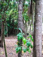 """Lamanai: les aiguilles de cet arbre étaient utilisées dans la médecine maya. Mal utilisées, elles font immédiatement monter la fièvre. <a style=""""margin-left:10px; font-size:0.8em;"""" href=""""http://www.flickr.com/photos/127723101@N04/26077932405/"""" target=""""_blank"""">@flickr</a>"""