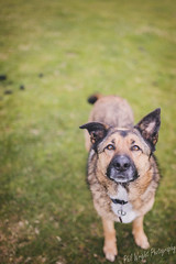 Ellie (Phil L Wright) Tags: dog cute 35mm ball photography photo mutt eyes focus collie cross bokeh shepherd sony 14 sigma cutie give german share a7rii