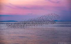 Starling Murmuration (Gareth Hughes Photography) Tags: sunset wales eos pier starling 70200 ceredigion murmuration sturnusvulgaris aberystwythpier 1dx ef70200mmf28lisiiusm canon1dx
