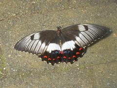 Papilio aegeus 6 (barryaceae) Tags: house butterfly harbour australia nsw coffs the ausbutterfly