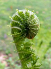 Unfolding (Scott Sz) Tags: new plant fern macro green leaves spring young shape unfolding