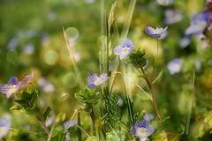 Blue beauties (mamietherese1) Tags: earthmarvels50earthfaves phvalue fleursetpaysages