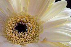 Ruffles and Curls (Prestidigitizer) Tags: flowers macro backlight petals spring stamen pollen onblack gerberadaisy sigmaexdg70mmmacro pentaxk3