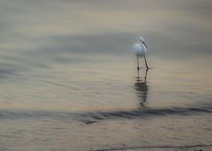 White Heron (yafit770) Tags: sunset sea white bird heron canon panama cinta costera challengeyouwinner