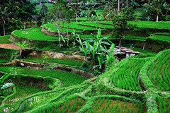 Rice Fields (Johann Winterholler Fotografie) Tags: bali green nature field indonesia landscape asia asien rice farm landwirtschaft natur terraces reis hills ricepaddies grn lush agriculture ricefield landschaft climate riceterraces paddyfield anbau reisfelder terrassen