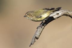 Weebill 2016-03-01 (_MG_9453) (ajhaysom) Tags: australia melbourne australianbirds greenvale weebill smicrornisbrevirostris canoneos60d sigma150600 woodlandshistoricpark