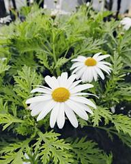 Good morning everyone  (abidabdulrahman) Tags: morning flowers flower art love flickr natural sony amman jordan goodmorning       vscocam rx100m3