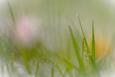 aprilwetter im gras (ponyQ) Tags: schnee natur wiese blte farbe abstrakt frhling helios44m vertrumt unschrfe aprilwetter experimentellesobjektiv