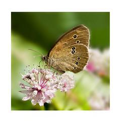 Summer guest. (BirgittaSjostedt.) Tags: flower butterfly insect wing ie anten aphantopushyperantus photoborder magicunicornverybest