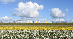 SLT and daffodils, Hillegom, April 17, 2016 (cklx) Tags: holland spring rai daffodils slt narcissen 2016 bollenstreek