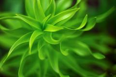 Twisted Green (backsidewalkaround) Tags: green leaves spring bokeh manualfocus manuallens bokehlicious topcormacrore3558
