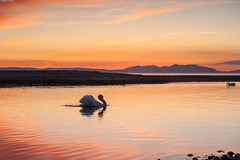Charge ! (Alan Habbick Photography.) Tags: scotland swan ayr arran ayrshire riverdoon