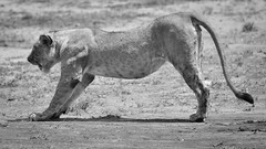Time for a good stretch! (Ashwati Vipin - Back after hiatus) Tags: life africa travel family light wild vacation blackandwhite sun holiday love tourism home nature monochrome beautiful sunshine landscape mammal photography nikon kenya outdoor wildlife conservation beautifullight places adventure safari journey naturereserve experience mara savannah wilderness migration predator majestic lioness masai lovenature wildlifesafari ecosystem biodiversity masaimara wildanimals ecotourism naturephotography riftvalley eastafrica africansafari nikoncamera naturelove wildsafari masaimaranationalreserve loveanimals wildlifephotography animallove nikonusers nationalreserve wildafrica adventureholiday africanlandscape nikonlove nikoncameras nikonclub nikond5000 savannahlandscapes nikond5000users nikond500users