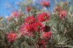 Grevillea 'Billy Bonkers' (Tatters ) Tags: flowers australia hybrid botanicgarden redflowers grevillea proteaceae mcbgb grevilleabillybonkers