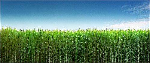 Young corn field - Deliblatska pescara