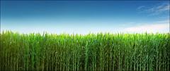 Young corn field - Deliblatska pescara (Katarina 2353) Tags: film field landscape spring corn nikon europe serbia agriculture srbija deliblatskapescara katarinastefanovic katarina2353