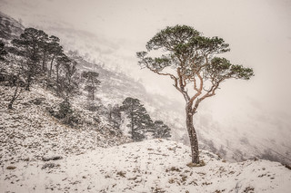The Scots Pine