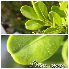 Macro iPhone (Giuseppe Riemma Photogr@pher) Tags: flower macro lensmacro iphonemacro