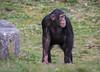 Chimpanzee 2016-04-06-0445 (BZD1) Tags: nature animal mammal natuur pan chimpanzee beeksebergen primates pantroglodytes chimpansee chordata synapsida hominidae commonchimpanzee hominini haplorhini