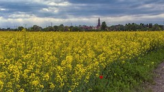 Yellow and red (Fil.ippo) Tags: red milan flower field yellow milano giallo hdr filippo springtime rapeseed abbazia colza chiaravalle d7000 filippobianchi