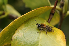 Male miner bee #1 (Lord V) Tags: macro bug insect bee andrena minerbee
