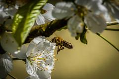 Biene im Anflug. Bee on approach. (mirko.borgmann) Tags: flower bee blte biene