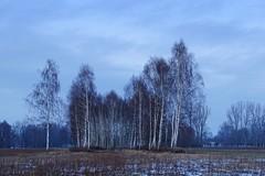 memories of the winter (JoannaRB2009) Tags: blue winter snow tree nature landscape view poland polska birch lodzkie feliksw dzkie dolinaneru rivernervalley