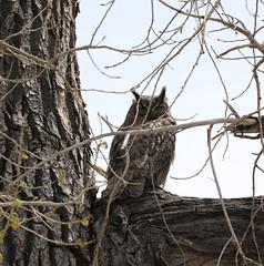 Great Horned Owl (fethers1) Tags: bird fishing raptor flyfishing greathornedowl lakeladora rockymountainarsenalnwr