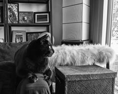 Carl Looking Out (lennycarl08) Tags: cat blackcat kitty carl lc blackcats lennyandcarl