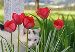 Alle erfreuen sich am Frhling (Mariandl48) Tags: austria katze steiermark tulpen sule wenigzell sommersgut
