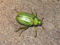 Glorious Scarab - Chrysina gloriosa (bugsnbots) Tags: beetle glorious scarab gloriosa coleoptera chrysina
