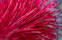 Wind through the Bottle Brush (FotoGrazio) Tags: pink red plant painterly abstract motion flower macro art texture nature closeup composition garden botanical photography movement photoshoot fineart surreal exotic stamen tropical bottlebrush moment lovely photographicart capture botany mothernature digitalphotography phototopainting phototoart artofnature sandiegophotographer artofphotography flickrelite californiaphotographer internationalphotographers worldphotographer photographersinsandiego fotograzio photographersincalifornia waynegrazio waynesgrazio