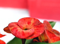 Red (SabyaC) Tags: life flowers light red wild plants india flower nature leaves photography colours bokeh